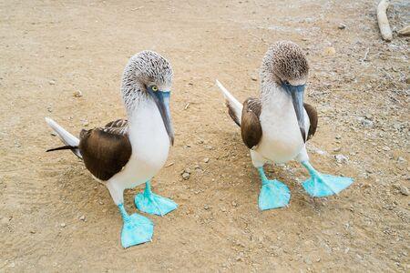 boobies: A couple of blue foot boobies in Isla de la Plata, Puerto Lopez, Ecuador Stock Photo