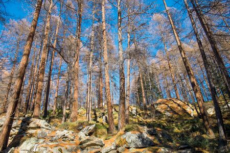 Mountain forest in autumn in Val d Ayas, Aosta Valley, Italy