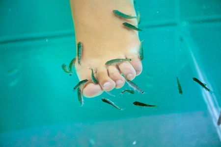 Fish spa treatment with garra rufa – doctor fish  photo