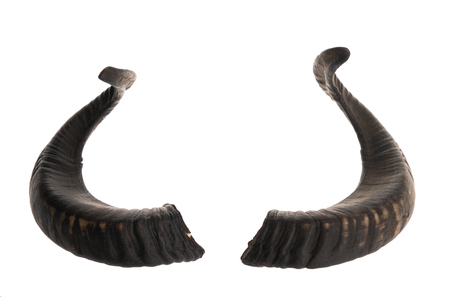 real trophy: Pair of black ram horns, isolated on white background Stock Photo