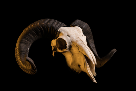 real trophy: Studio shot of a ram skull with horns, isolated on black background Stock Photo