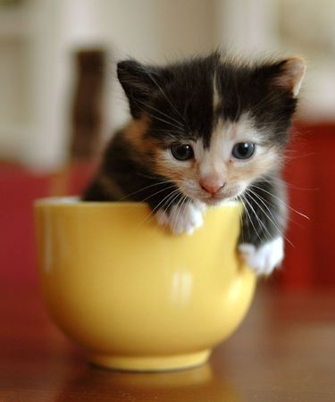 calico: little calico cat in a mugmacchiato in tazza Stock Photo