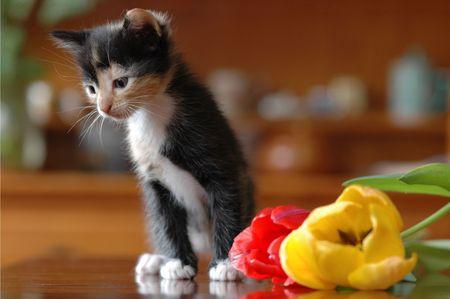 calico cat: calico cat with tulip