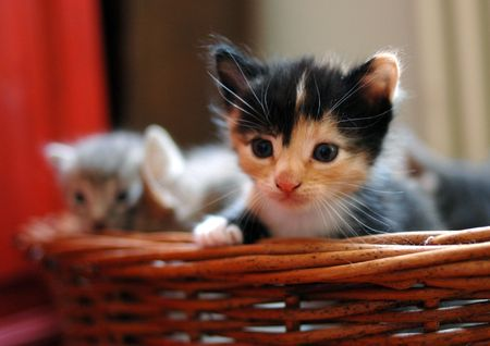 calico cat: little calico cat in the basket Stock Photo