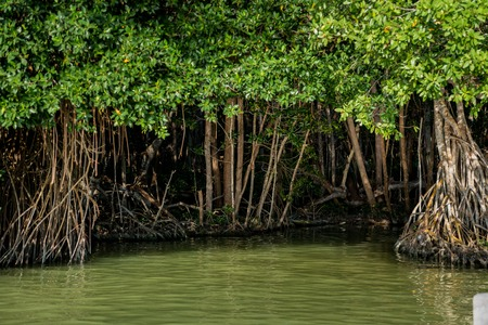 Mangrove forest by the Ria Celestun lake in Mexico Stock Photo