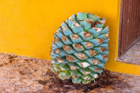 Blue agave pineapples against a yellow wall.