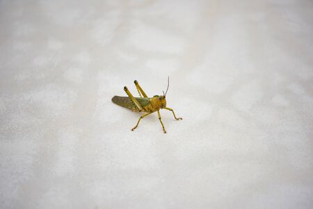 Large green locust on the concrete floor.