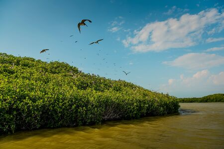 Pelicans and gulls in the mangroves in Celestun National Park. 免版税图像