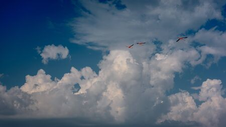 Three flamingos flying in the sky in the clouds