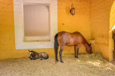 A brown horse with a foal eats hay in stable. Foto de archivo