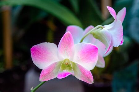 Pink branch orchid flowers Orchidaceae Phalaenopsis known as the Moth Orchid abbreviated Phal.