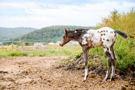 Young foal of appaloosa breed, western horse