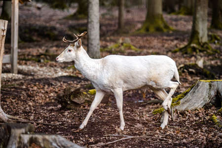 Natural scene of rare white albino deer.