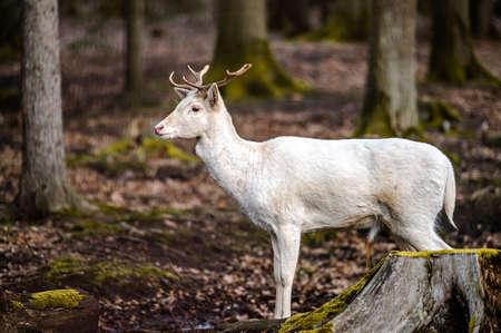 Natural scene of rare white albino deer. Stock Photo