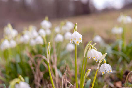 Beautiful blooming of White spring snowflake flowers in springtime. Snowflake also called Summer Snowflake or Loddon Lily or Leucojum vernum on a beautiful background of similar flowers in the forest Archivio Fotografico