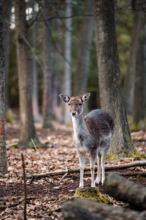 Fallow deer dama dama in the forest