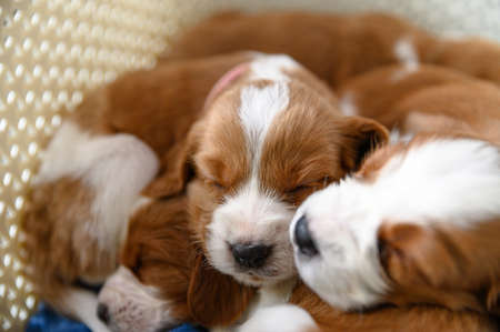 Cute newborn welsh springer spaniel puppies, one month old.