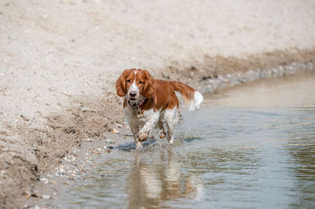 Adorable cute welsh springer spaniel, active happy healthy dog playing outside.