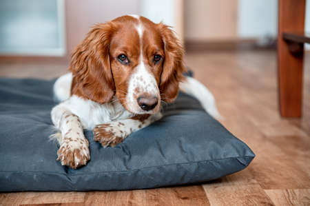 Cute welsh springer spaniel dog breed at home. Helthy adorable pretty dog.