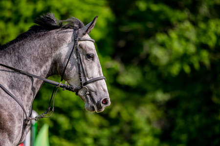 Horse on showjumping competition. Close-up photo.