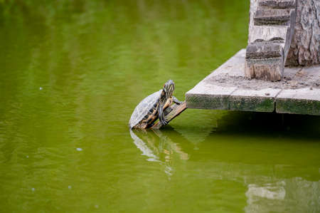 Turtles on a wood in a pond with water.
