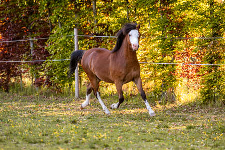 Beautiful stunning welsh mountain pony young helathy stallion running and posing on pasture on golden hour. Amazing colorful scenery with great animal.