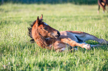 Cute little adorable horse foal in sunset on meadow. Fluffy beautiful healthy little horse filly.