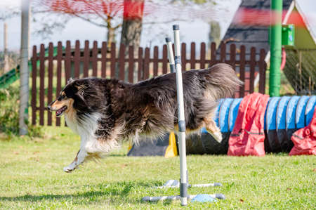 Dog competition in agility, jumping.