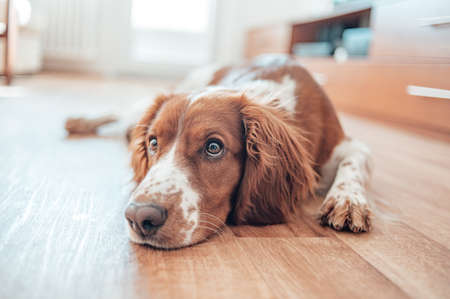 Beautiful cute spotted brown white dog. Welsh springer spaniel pure pedigree breed. Healthy dog resting comfy at home. Banque d'images