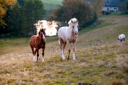 Healthy beautiful chestnut welsh horse pony in autumn season outside on pasture.