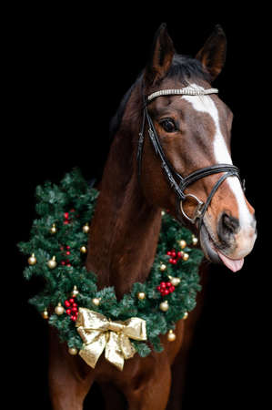 Beautiful chestnut brown horse mare stallion isolated on black background with christmas wreath. Elegant portrait of a beautiful animal.