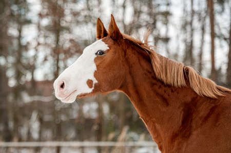 Galloping chestnut horse mare stallion in snow. Stunning active horse with long mane full of power in winter. Фото со стока