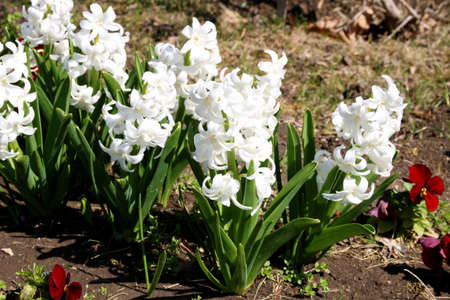 White Hyacinthus orientalis in a garden. Hyacinth - common, Dutch or garden hyacinth with white blooming flowers. traditional spring flower, Easter flower, floral background 免版税图像
