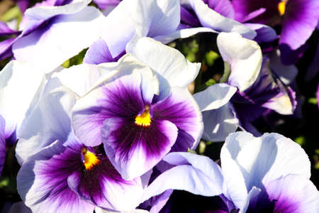 Pansy is a amazing flower and its multi colour combination is great. Viola tricolor var. hortensis. Viola Wittrockianna (Pansy). Beautiful multi-colored flowers pansies.