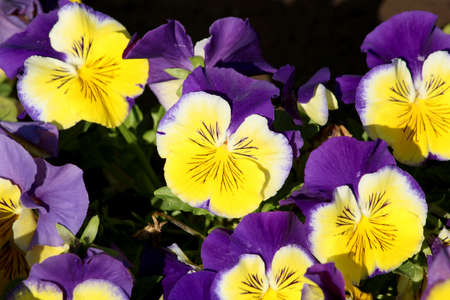 Pansy is a amazing flower and its multi colour combination is great. Viola tricolor var. hortensis. Viola Wittrockianna (Pansy). Beautiful multi-colored flowers pansies. 写真素材