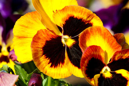 Pansy is a amazing flower and its multi colour combination is great. Viola tricolor var. hortensis. Viola Wittrockianna (Pansy). Beautiful multi-colored flowers pansies. Zdjęcie Seryjne