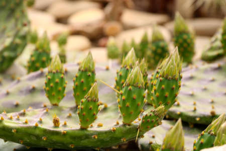 Cactus Opuntia leucotricha Plant with Spines Close Up. Green plant cactus with spines and dried flowers.Indian fig opuntia, barbary fig, cactus pear, spineless cactus, prickly pear. 写真素材