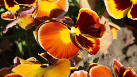pansy is a amazing flower and its colour combination is great. Viola tricolor var. hortensis. Viola Wittrockianna (Pansy). Beautiful multi-colored flowers pansies. 写真素材