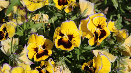 pansy is a amazing flower and its colour combination is great. Viola tricolor var. hortensis. Viola Wittrockianna (Pansy). Beautiful multi-colored flowers pansies. 免版税图像