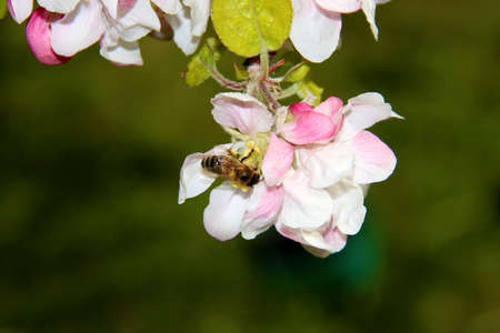 The honey bee gathers nectar from the flower of the Apple tree. Honey Bee collecting pollen. 版權商用圖片