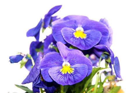 Pansy is a amazing flower and its colour combination is great. Viola tricolor var. hortensis. Viola Wittrockianna. Beautiful multi-colored flowers pansies isolated on white 免版税图像
