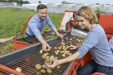 Workers sort potatoes in the field during the harvesting