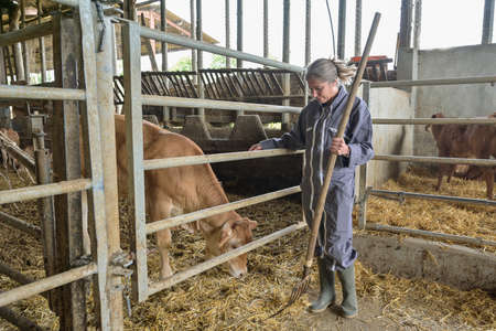 Female farmer petting a veal in the stall area