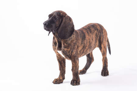 Bavarian mountain hound portrait photo