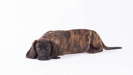 Bavarian mountain hound (Scenthound) portrait photo