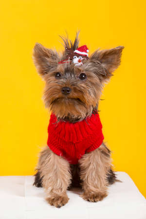 Yorkshire terrier in clothes photo