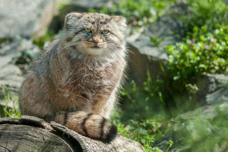 pallas: manul or pallas cat