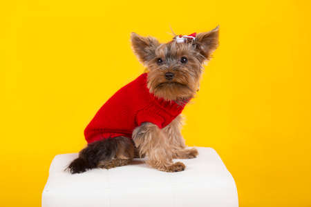 dog Yorkshire terrier in clothes  photo