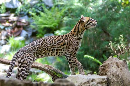 Ocelot or Leopards paralis