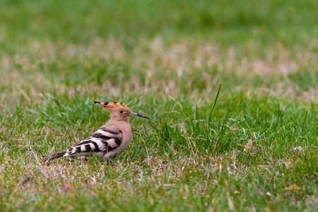 Hoopoe or upupa on grass photo